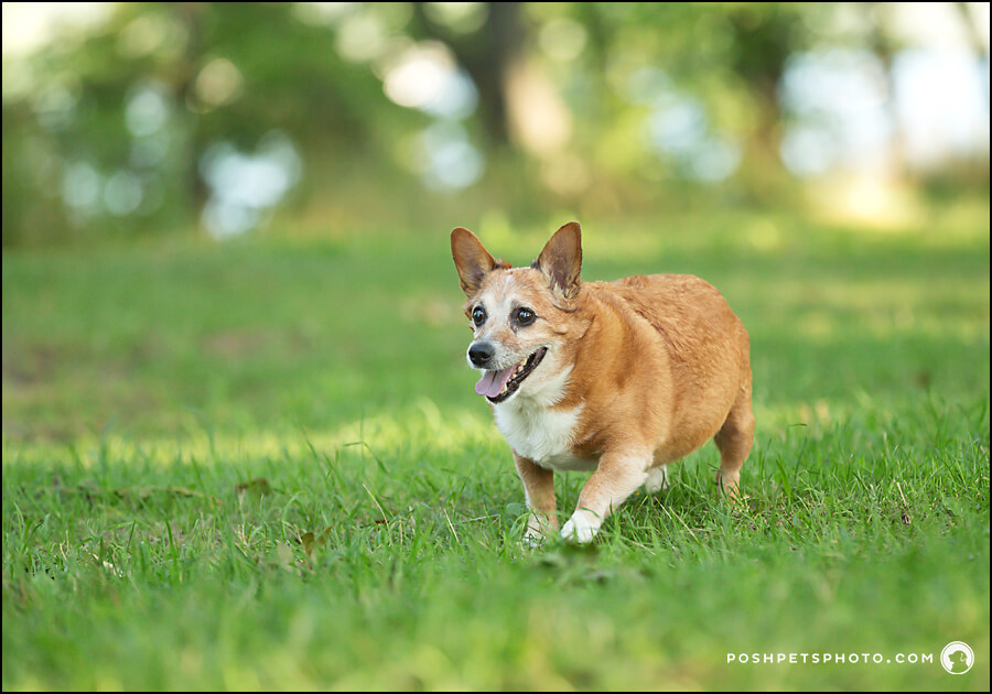 a running senior dog