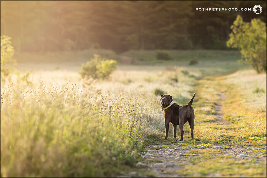 adventure dog in golden field in Cambridge, Ontario