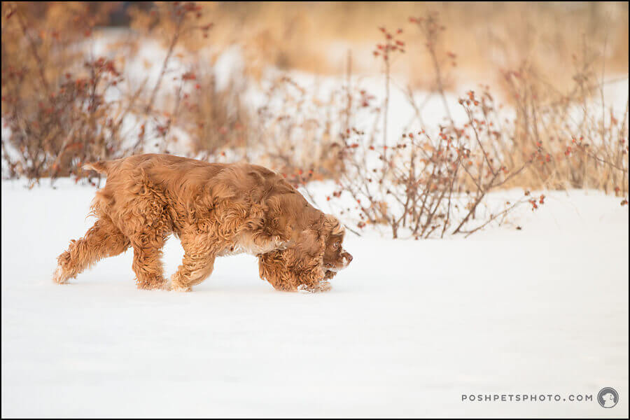 cocker spaniel dog photography in winter