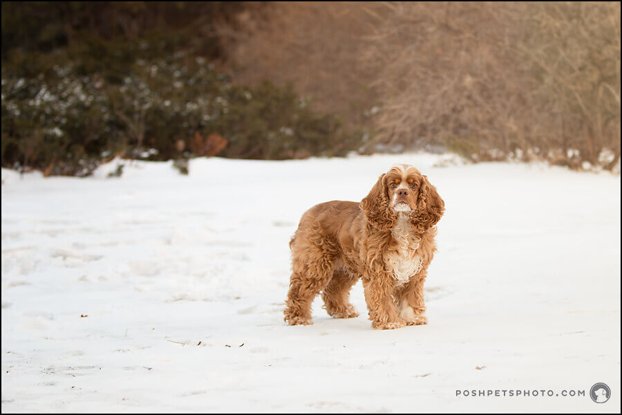 cocker spaniel in snow
