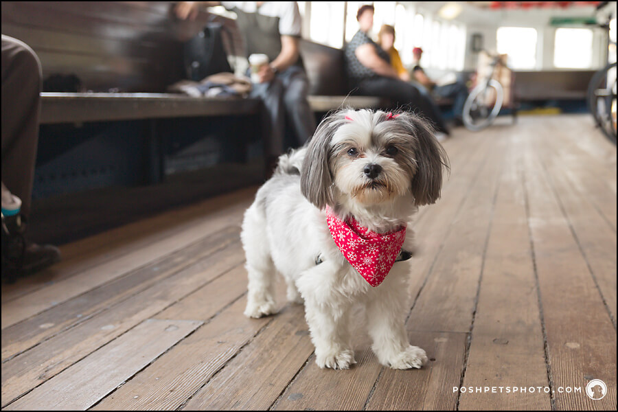 Toronto-dog-photography-island-ferry