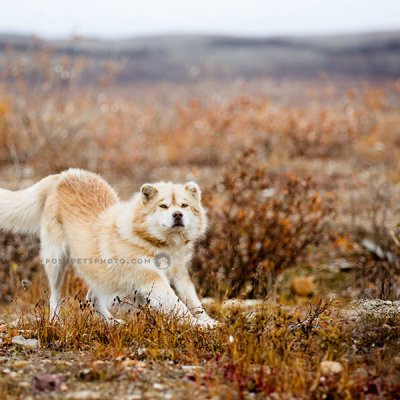 arctic dogs with play bow