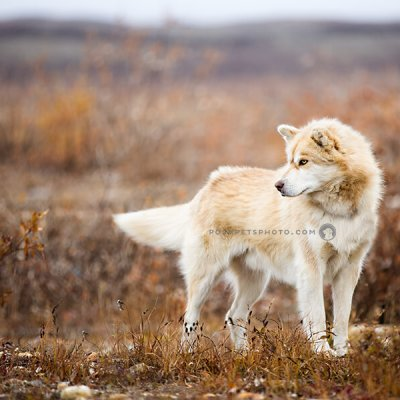 arctic dog on tundra