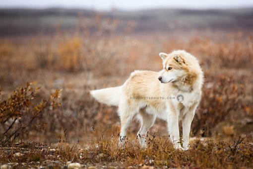 arctic dog on tundra