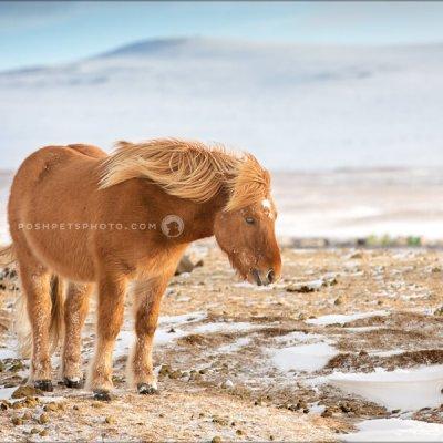 icelandic horse on tundra