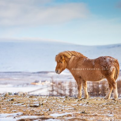 iceland pony in field