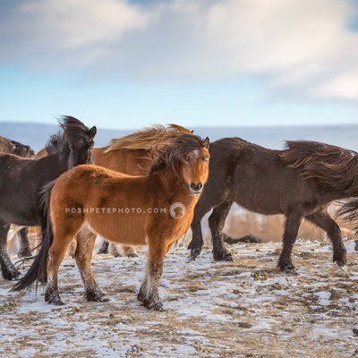 icelandic horses on tundra