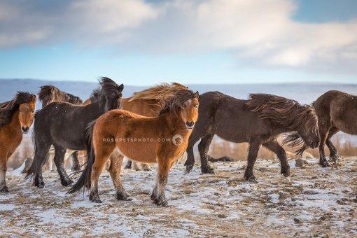 icelandic horses on tundra