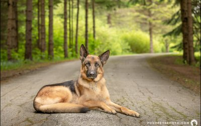 Bo, The German Shepherd of Cottage Country   Collingwood Dog Photography