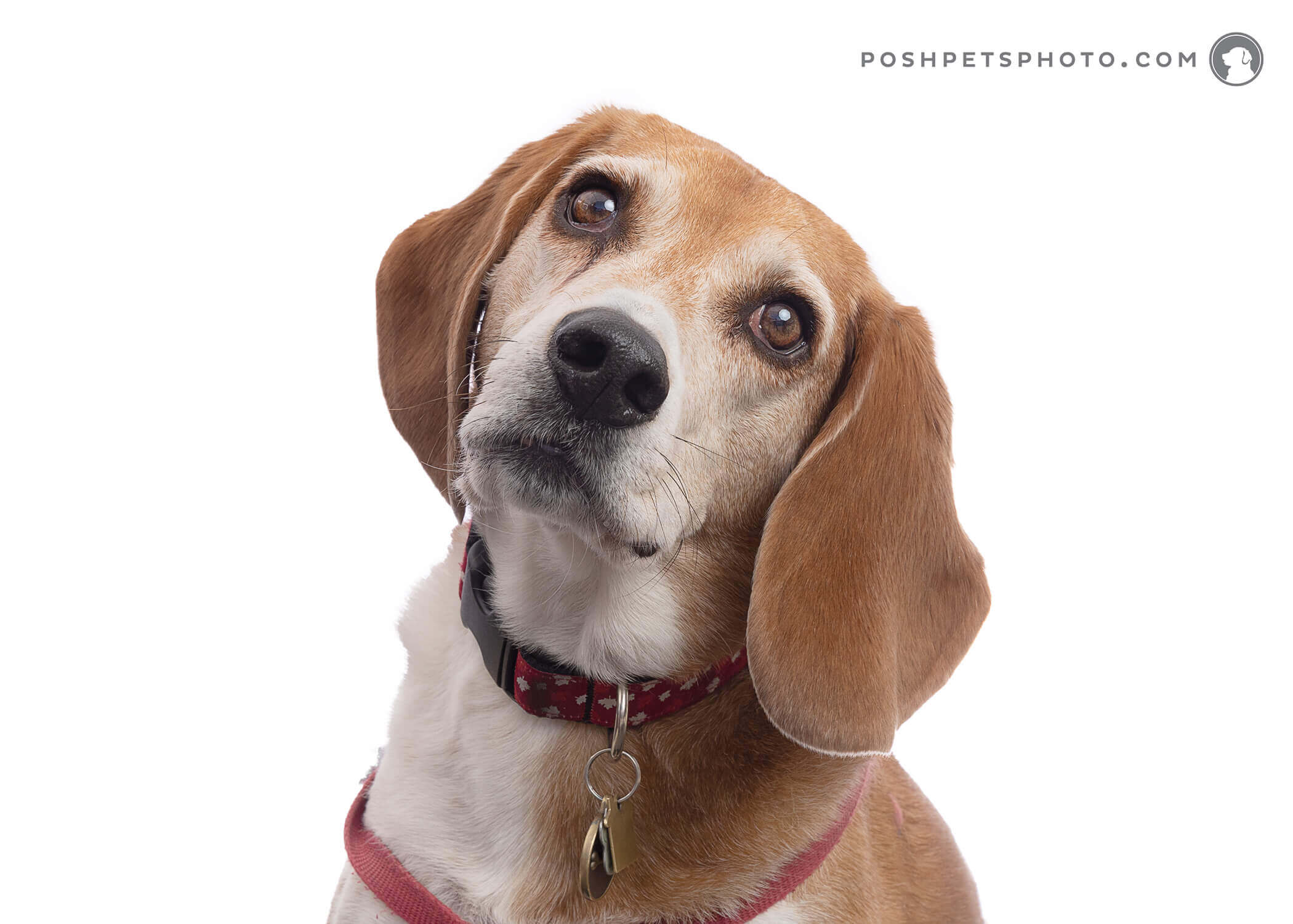 beagle dog with headtilt