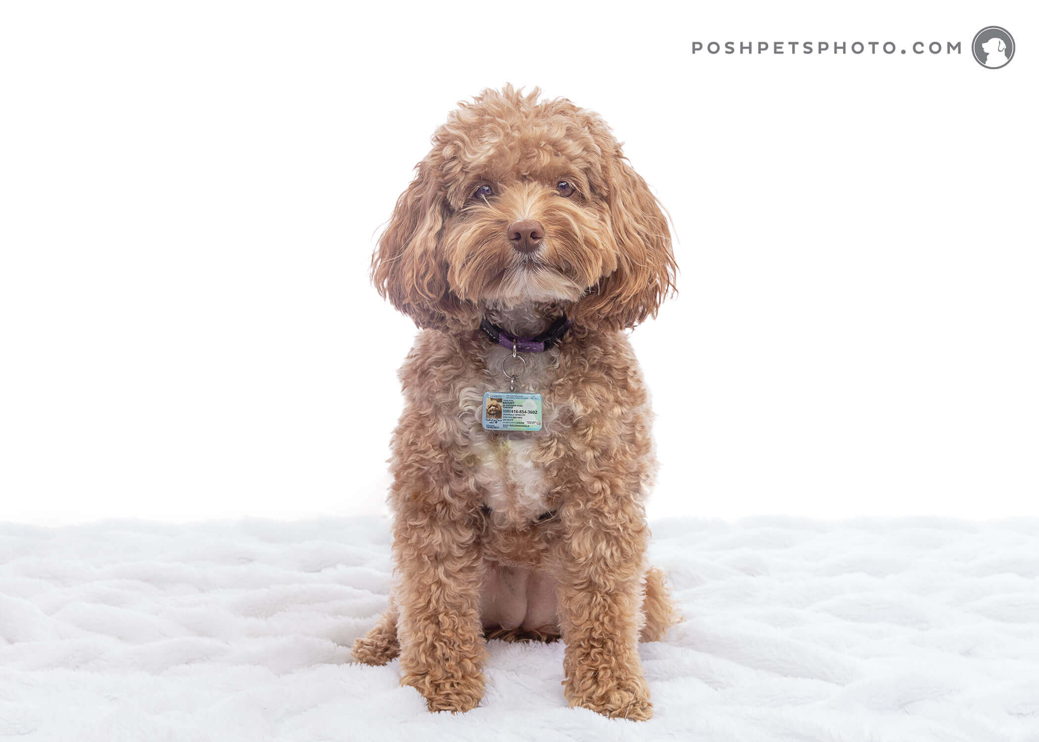 brown mini poodle