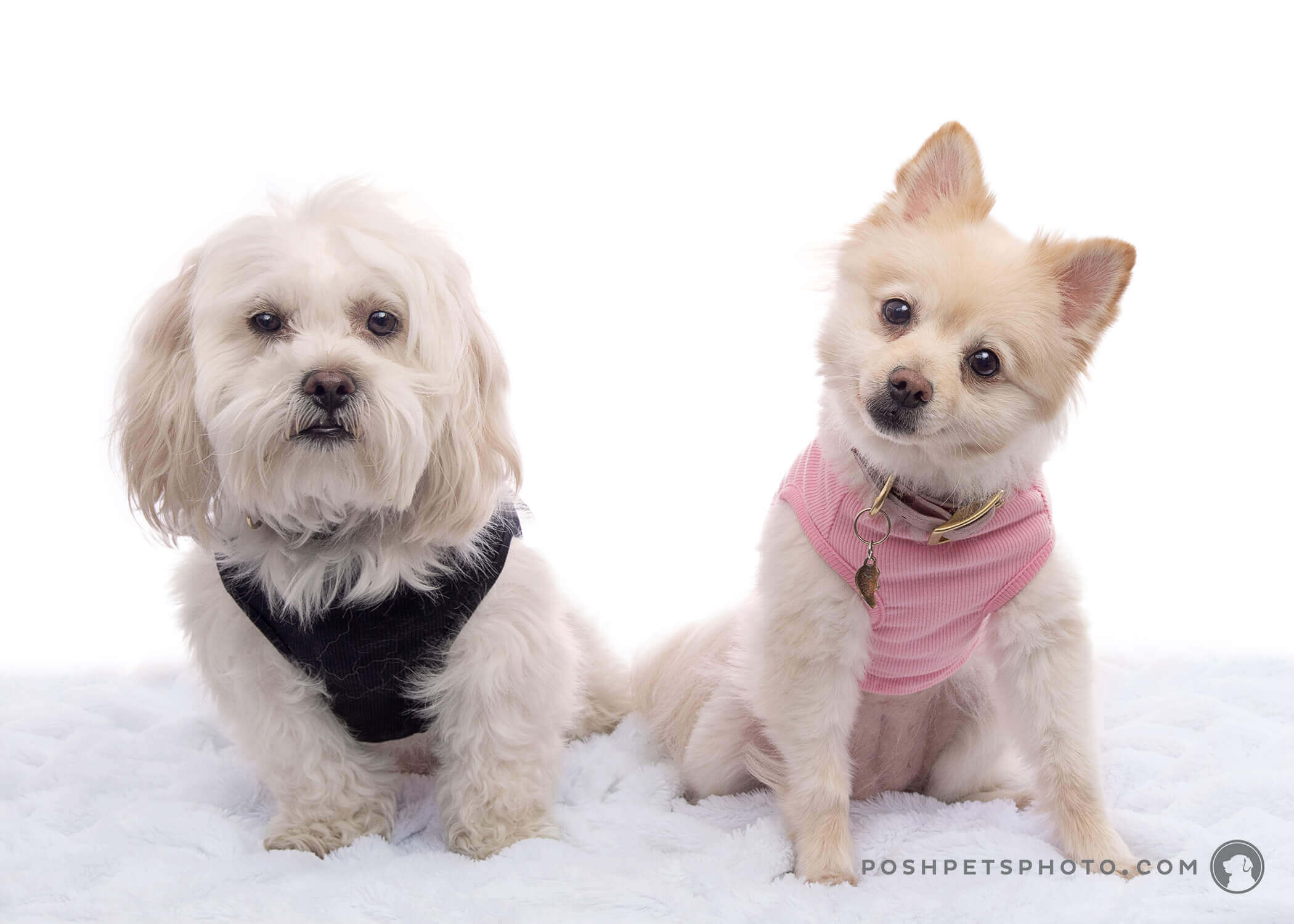 shih tzu and pomeranian dogs