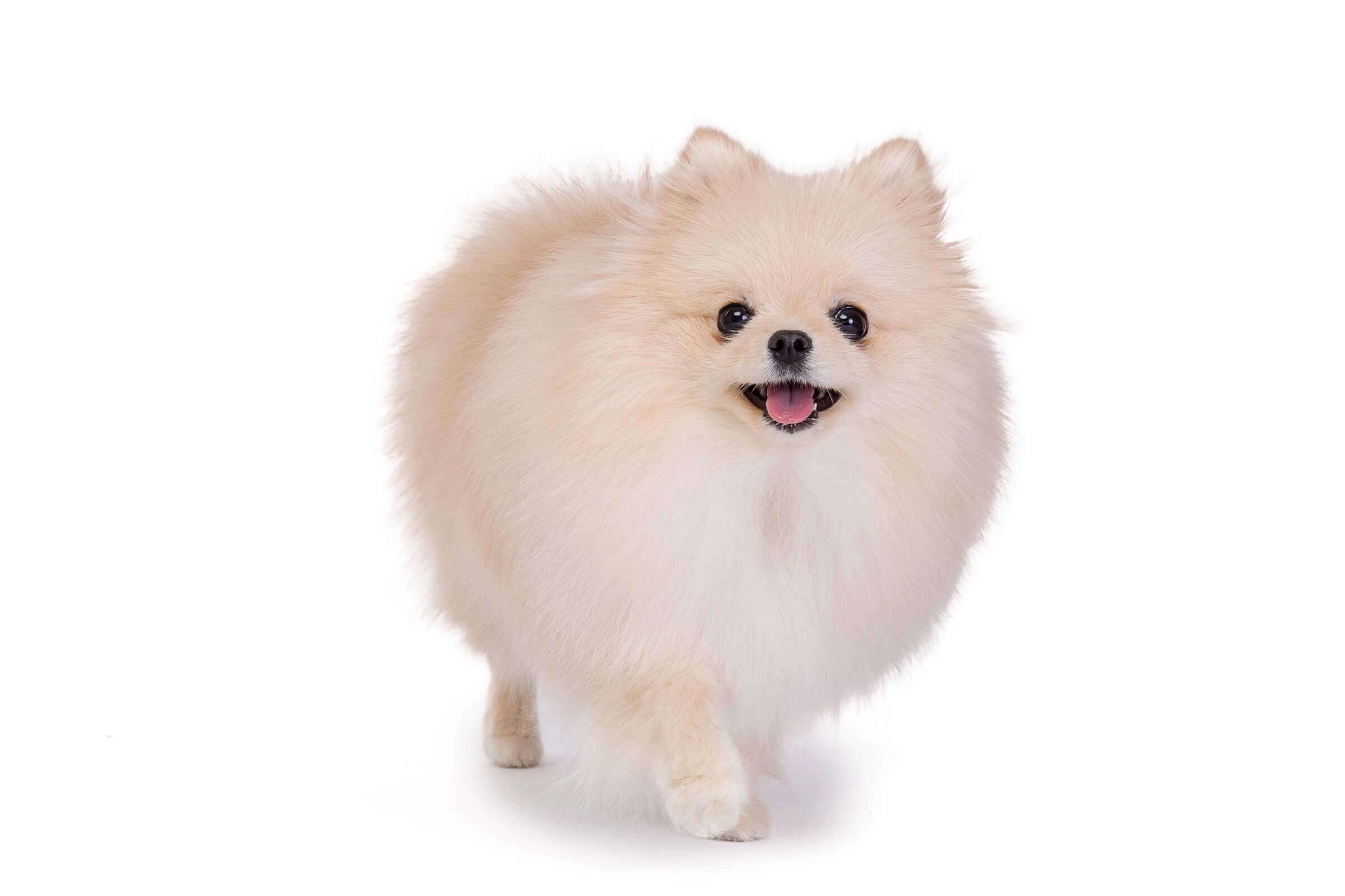 pomeranian during running a Toronto mini pet sessions