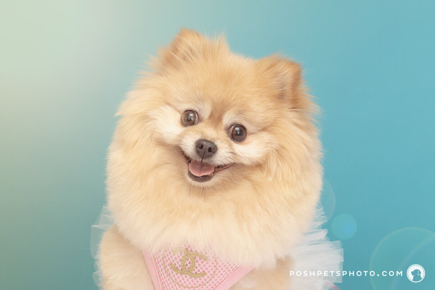 smiling pomeranian