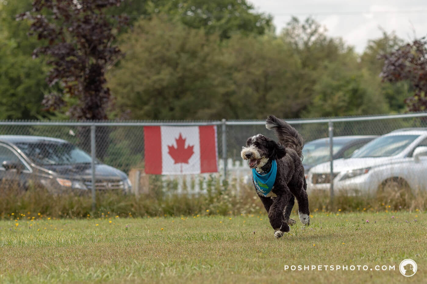 running dog with canadian flag