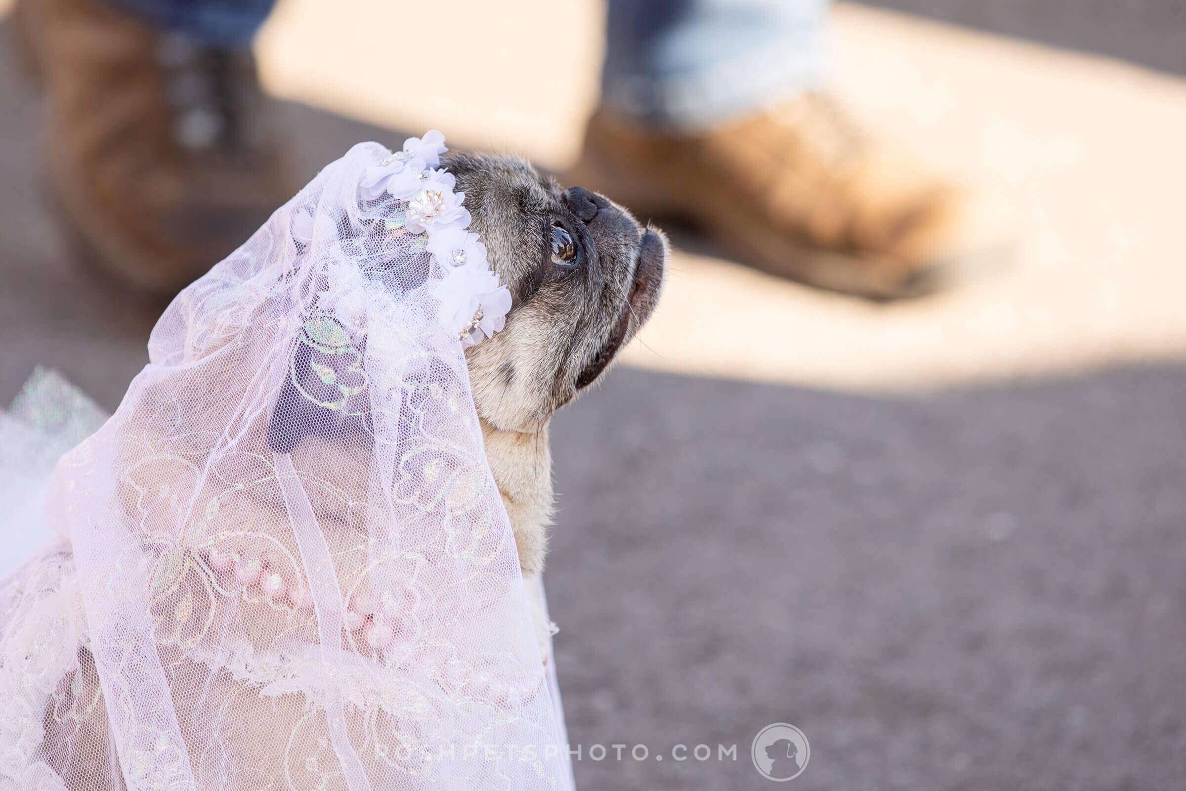 pug dog with veil
