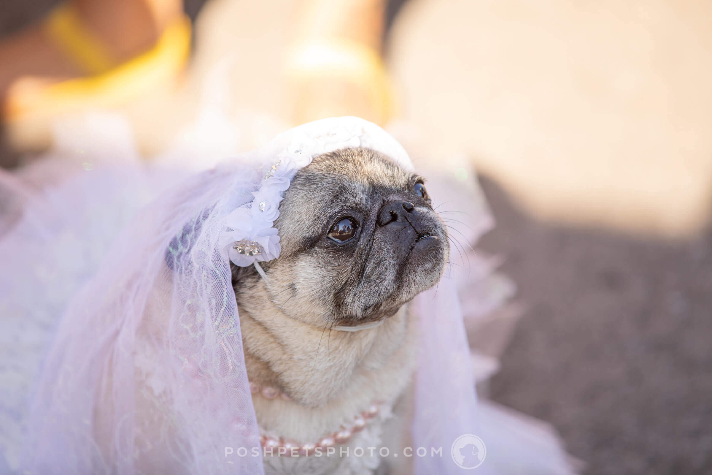 pug as bride at wedding