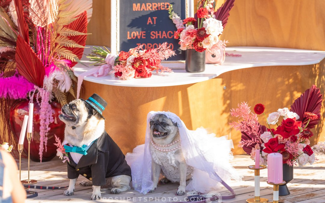 Dog Wedding in Toronto | A Tail of 2 Pugs