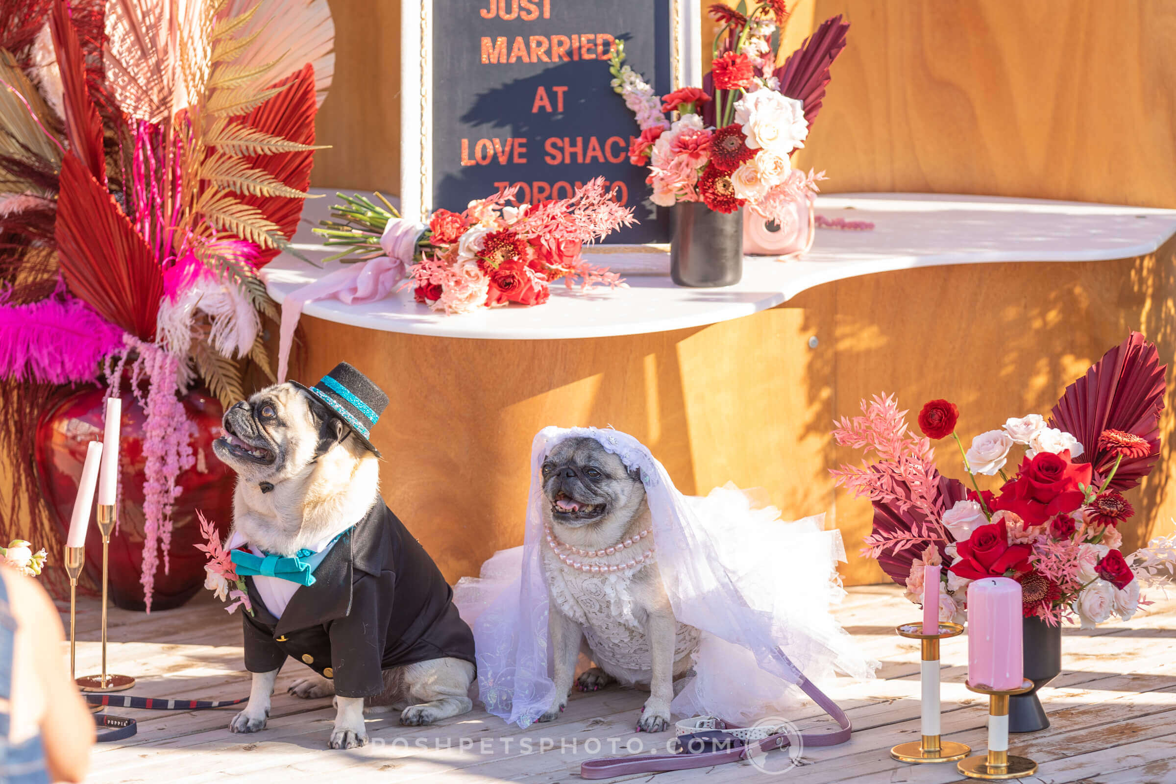 2 pugs getting married