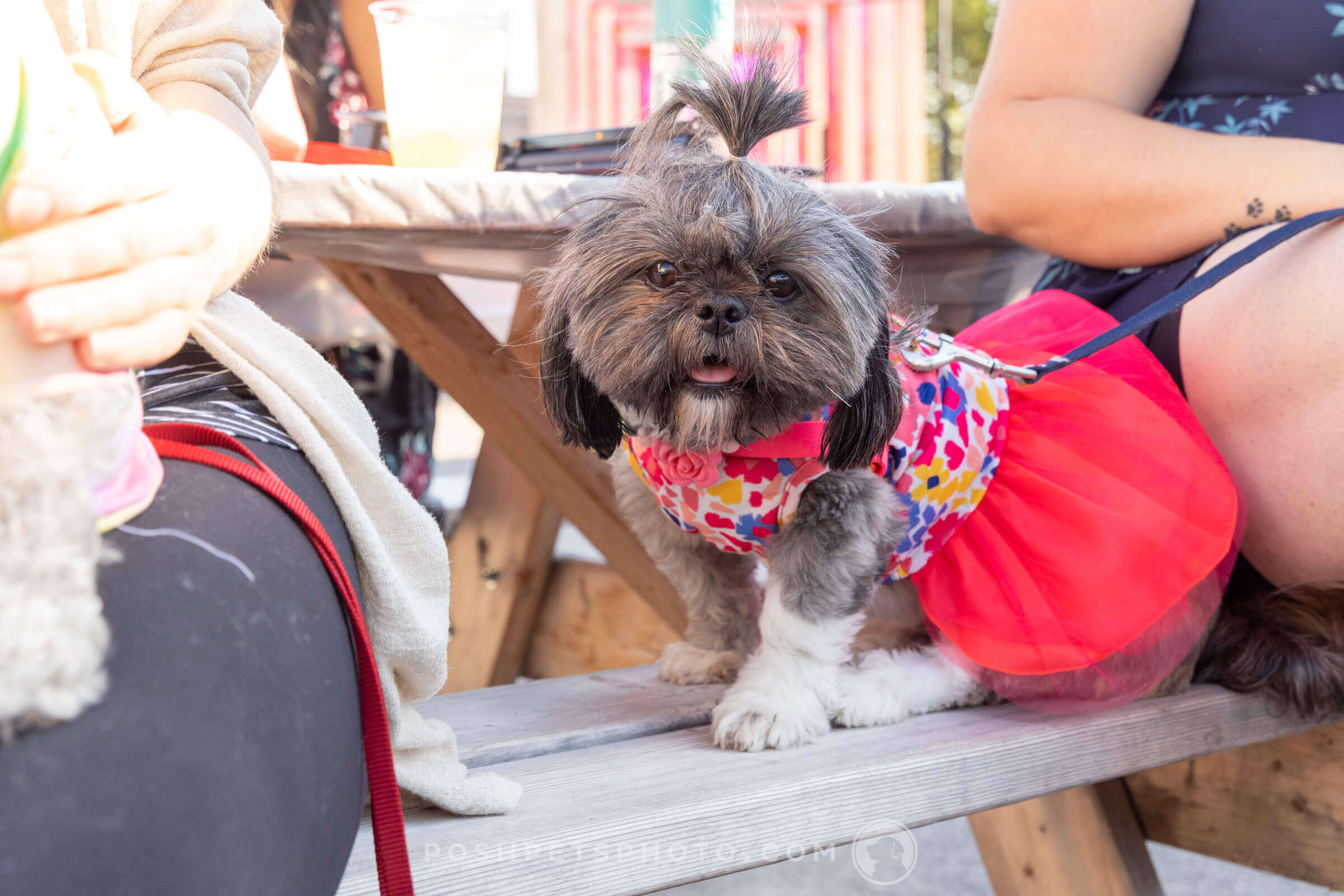 shih tzu dog in fancy red dress
