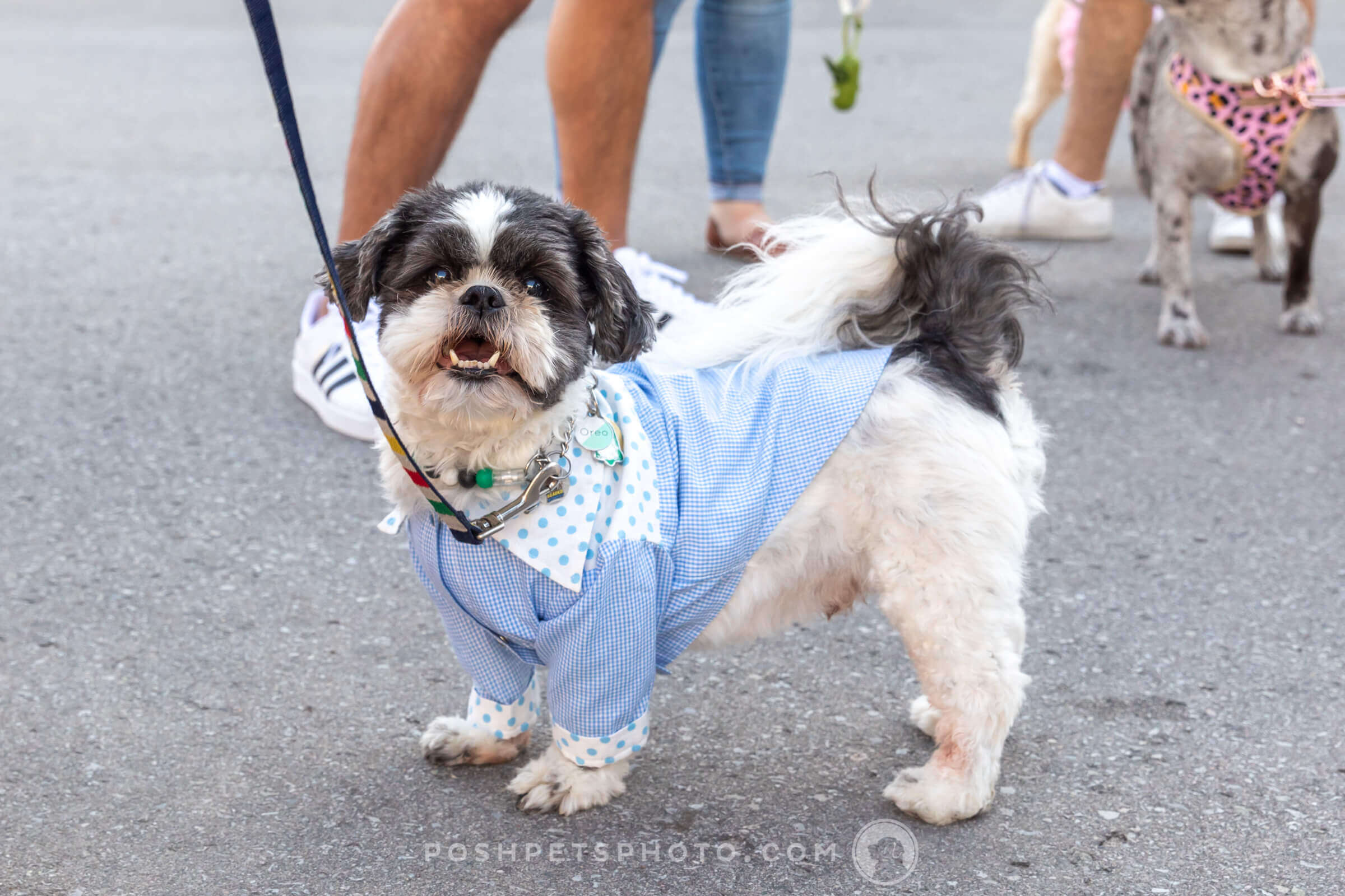 Shih Tzu dog in morning suit