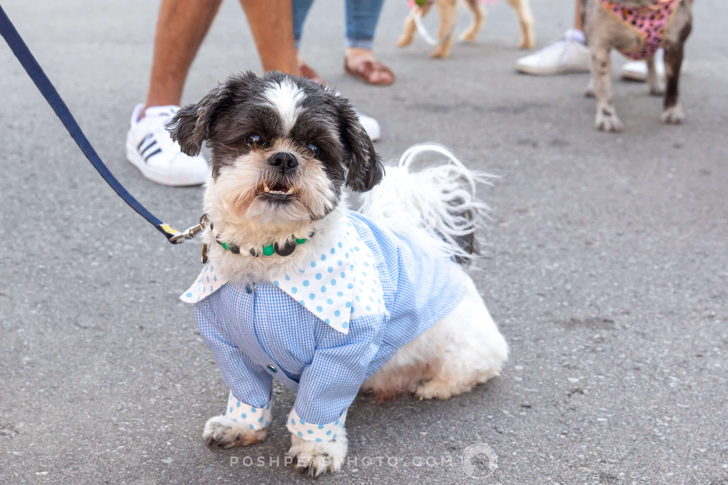 Shih Tzu dog at wedding