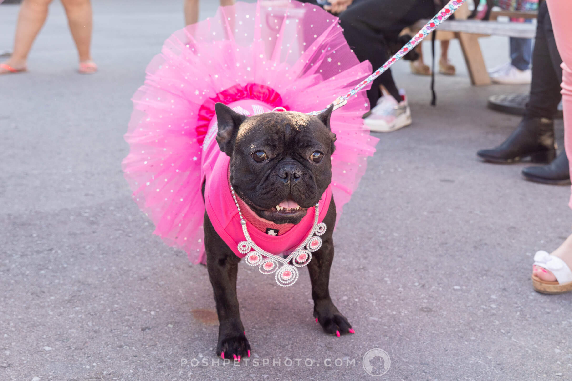 frenchie in pink tutu at wedding