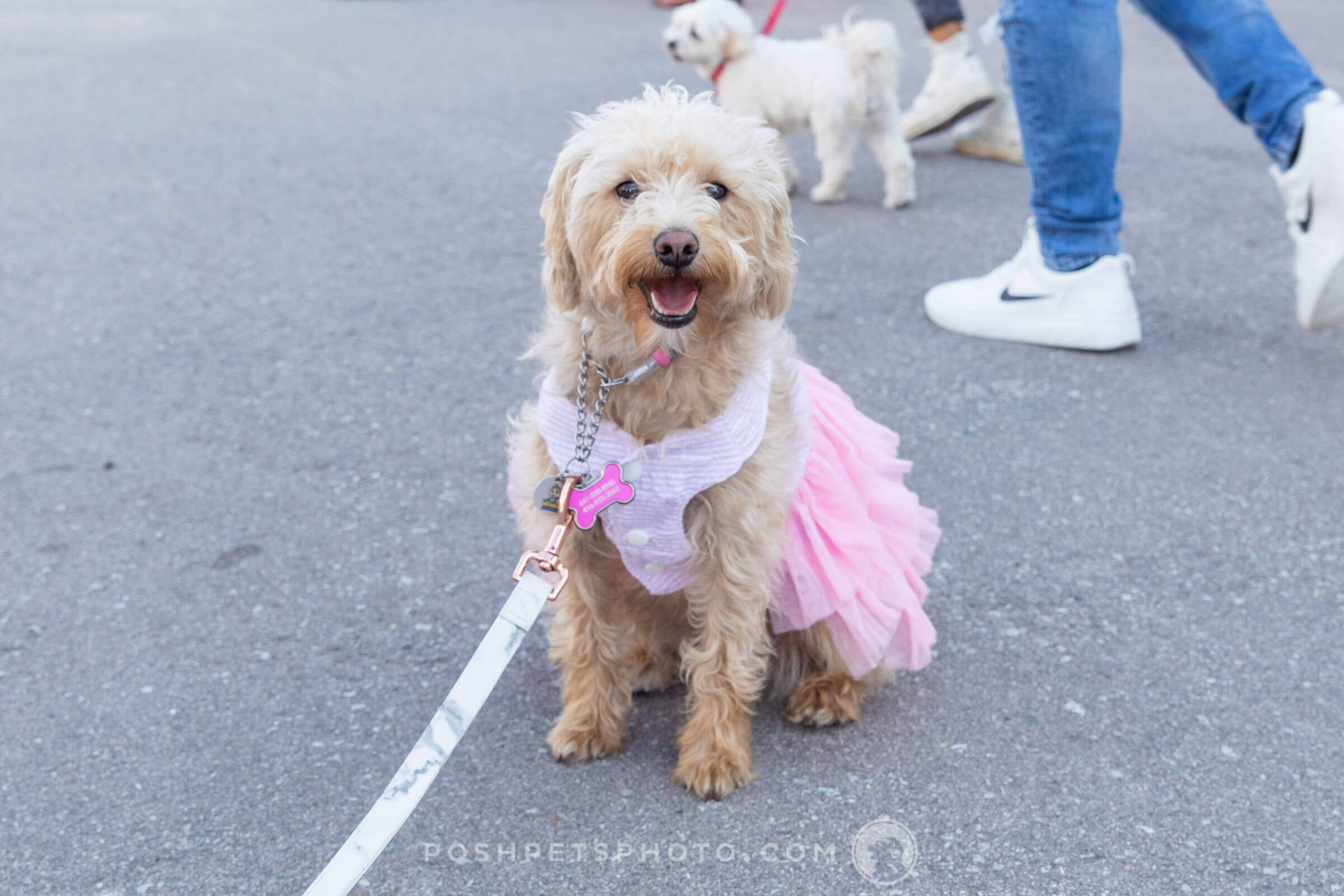 schnoodle dog in pink tutu