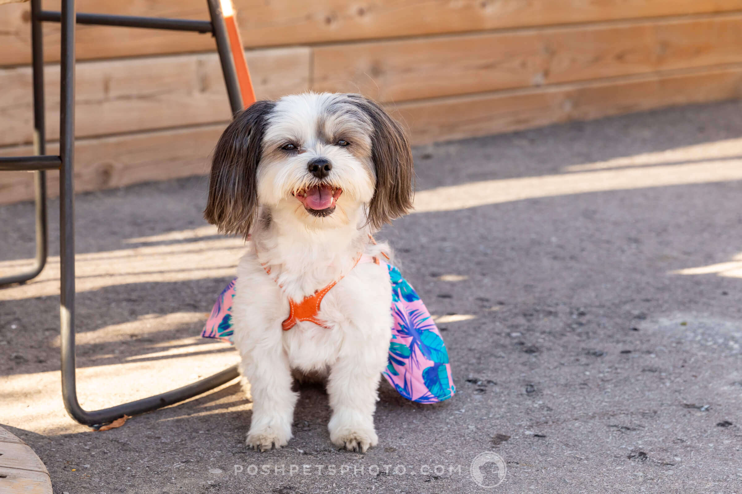 shih tzu in summer halter dress