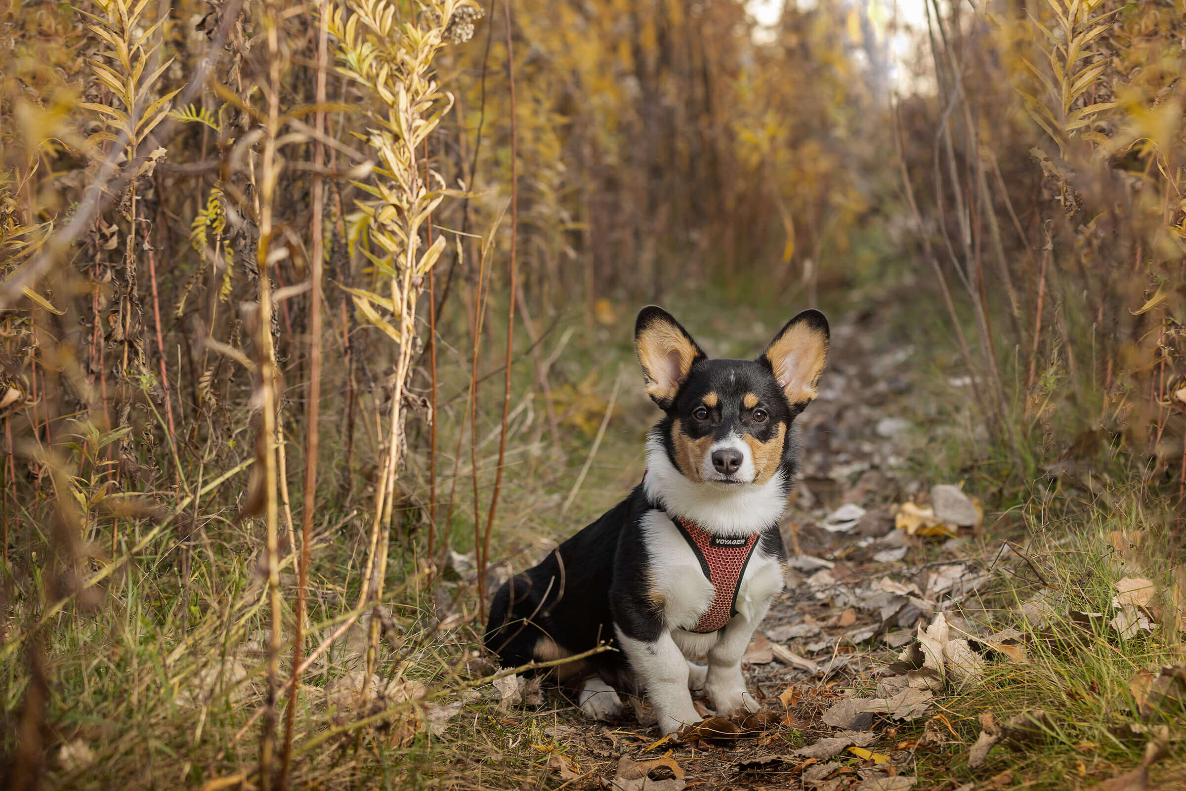 corgi puppy at photography session in Toronto