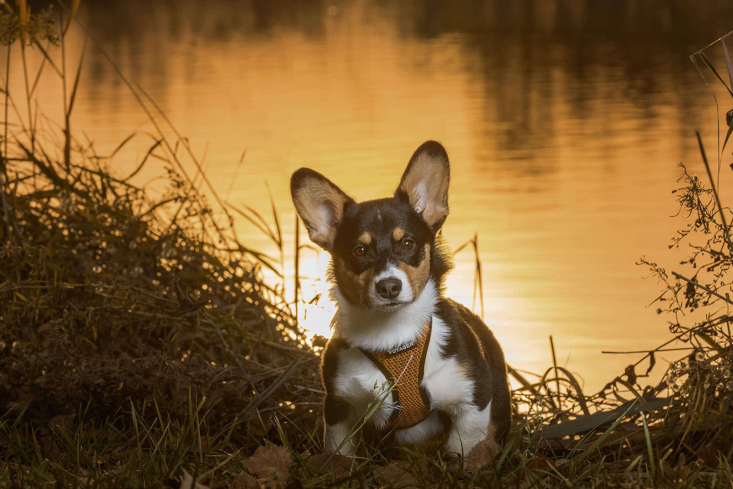 corgi dog poses at sunset