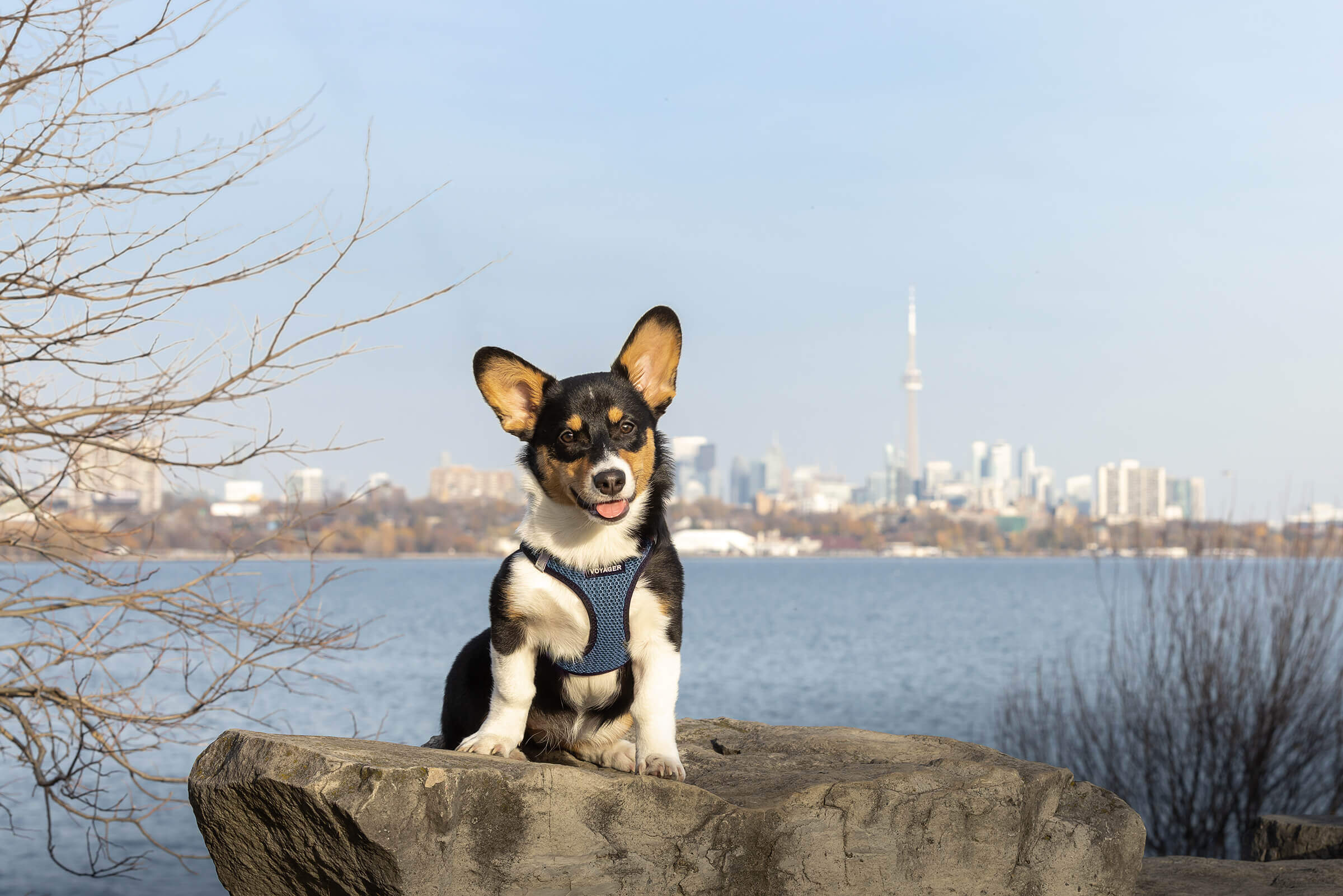 corgi puppy in front of the Toronto skyline including CN Tower