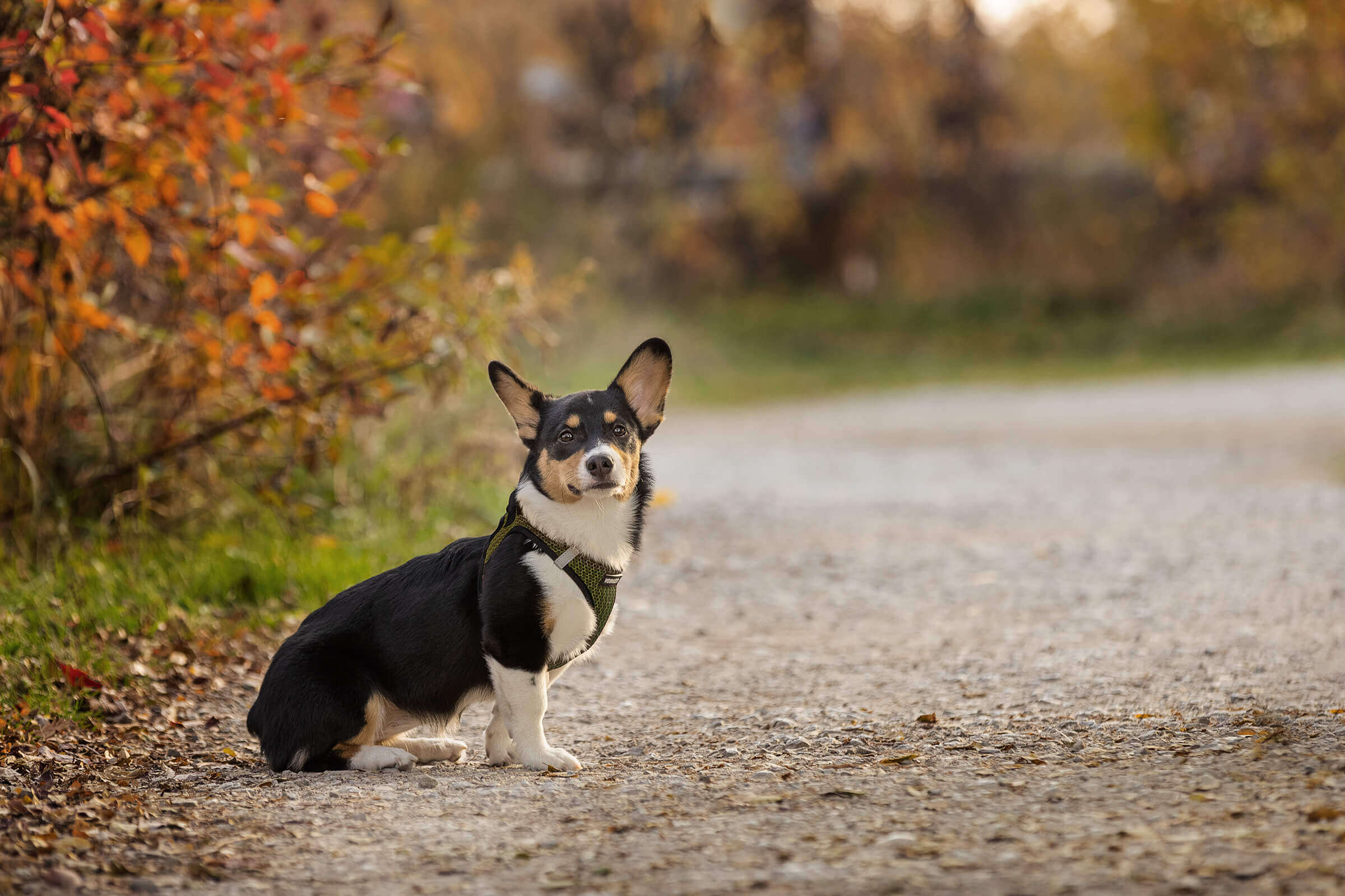 beautiful corgi puppy during photography session