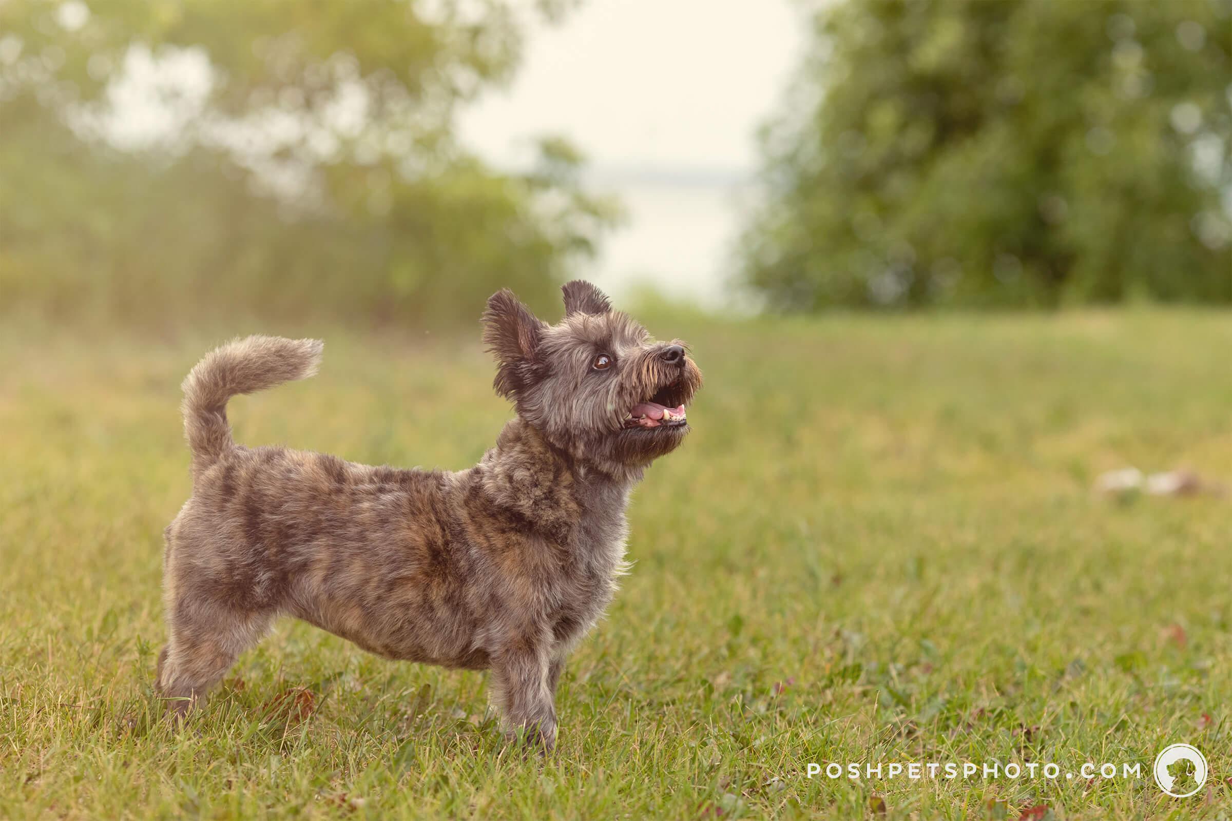 Collingwood dog in summer heat