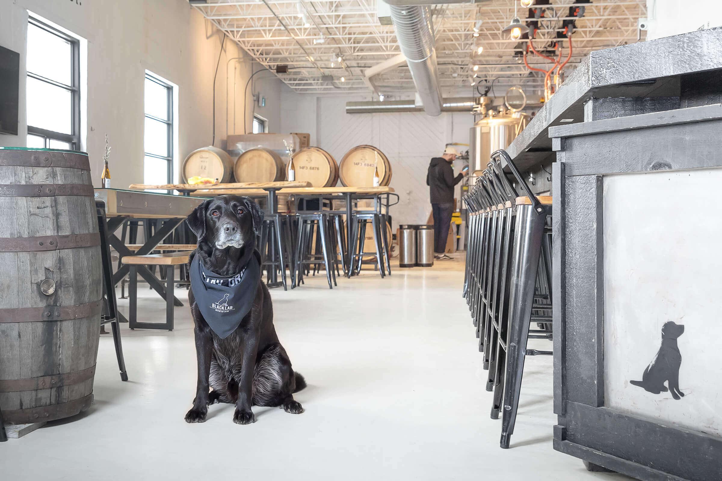 snoopy of black lab beer