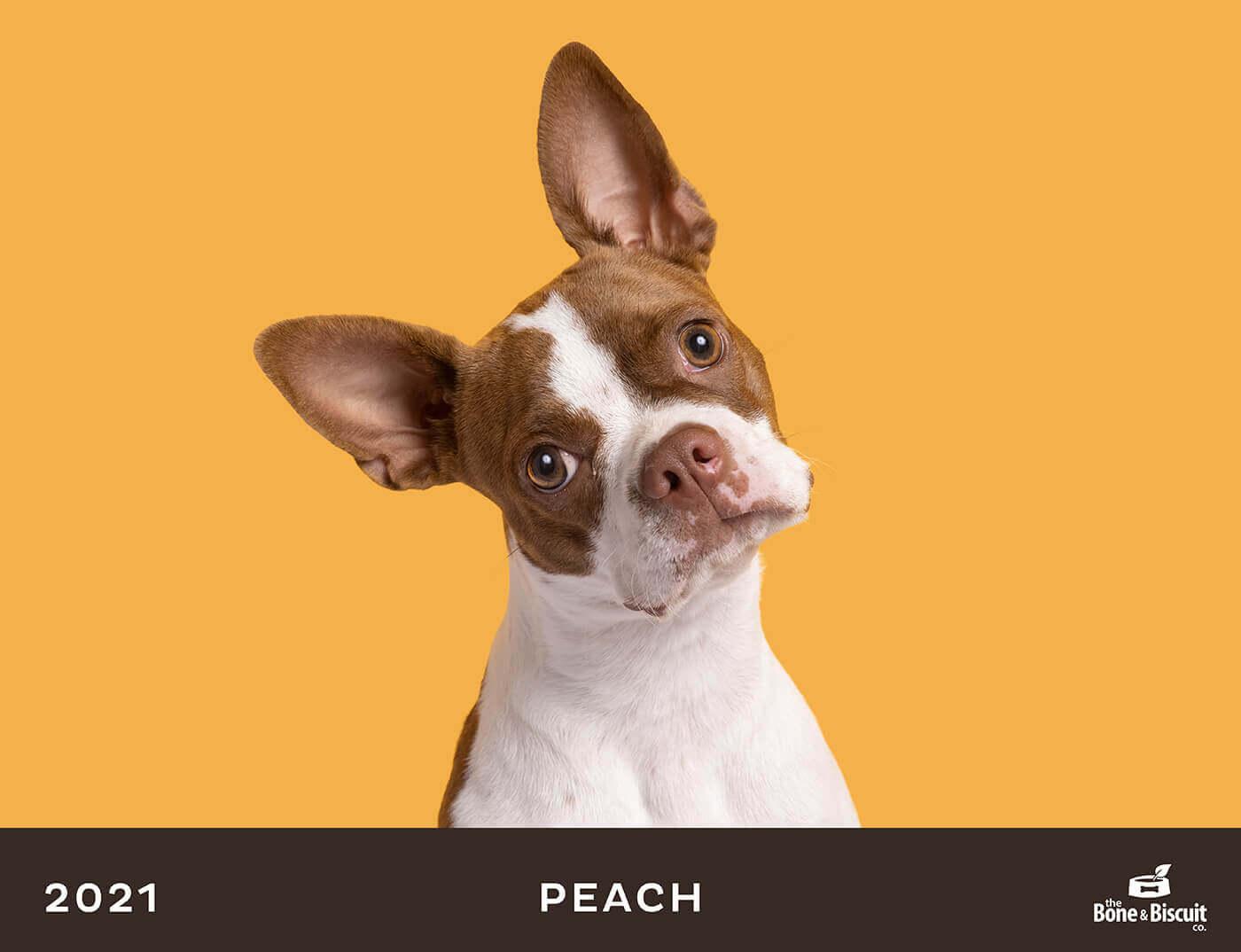 boston dog with headtilt