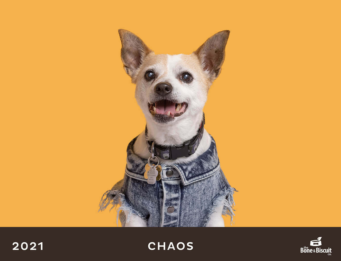 chihuahua in jean jacket