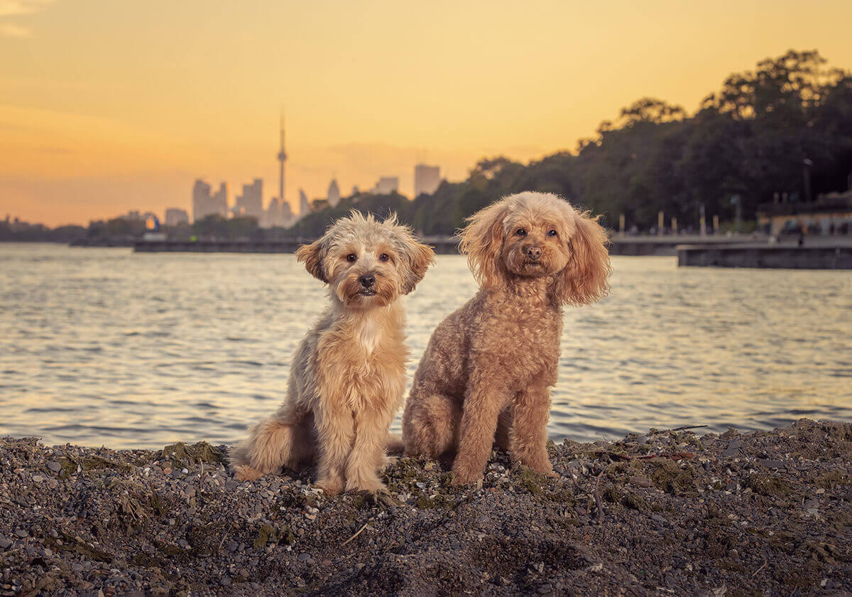 2 dogs with view of CN Tower from the Beaches