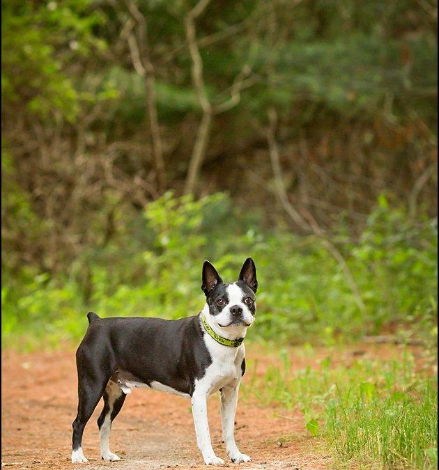 Dougie, the Boston | Southern Ontario Dog Photographer