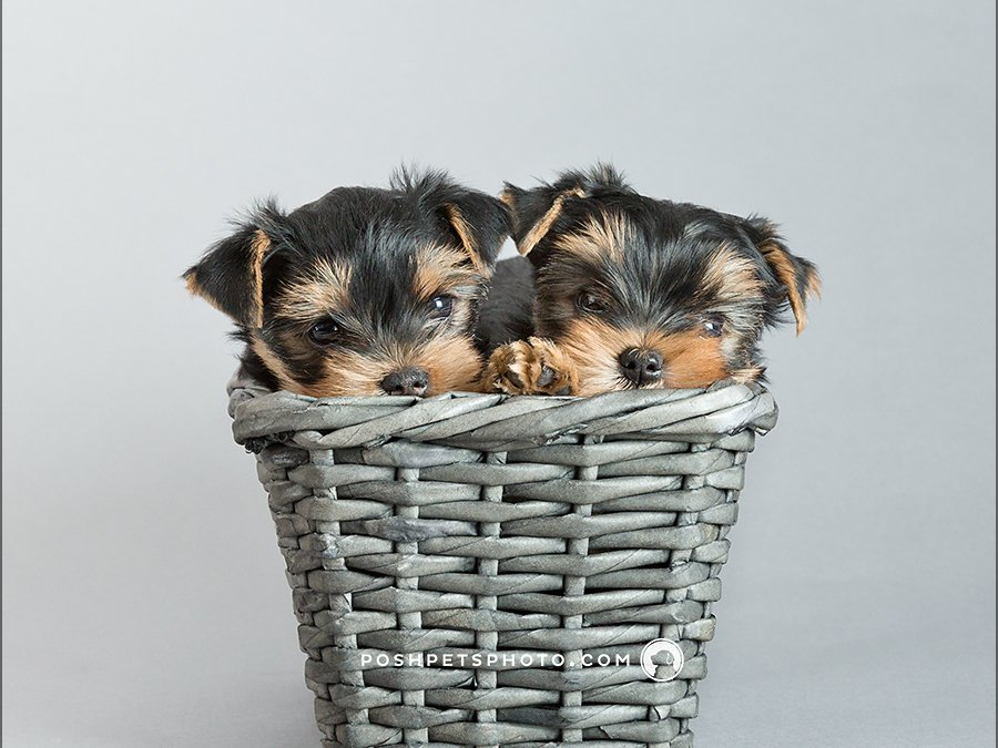 Puppies! | Toronto Dog Photographer